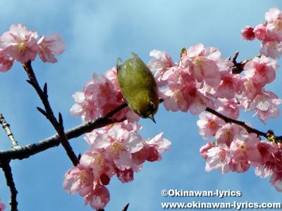 メジロ@八重岳桜まつり