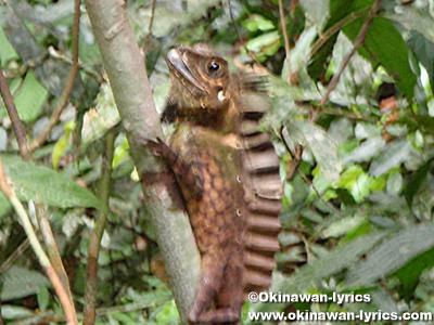 カメレオン(chameleon)@グヌンレイセル国立公園(Gunung Leuser National park)