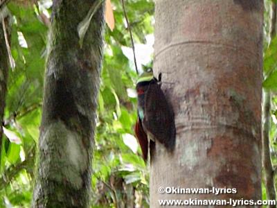 大型のセミ(cicada)@グヌンレイセル国立公園(Gunung Leuser National park)