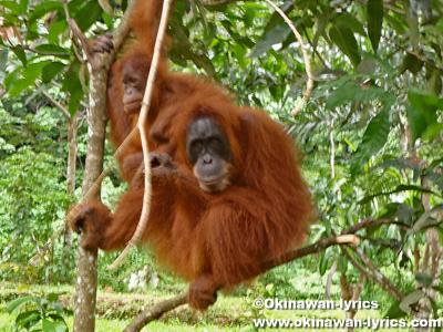 オランウータン(orangutans)@グヌン・レイセル国立公園(Gunung Leuser National park)