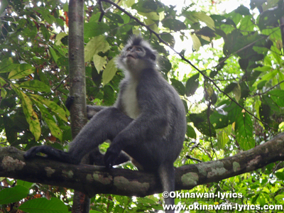 Thomas's Leaf Monkey@グヌンレイセル国立公園(Gunung Leuser National park)