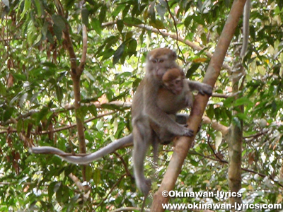 Long-tailed Macaque@グヌンレイセル国立公園(Gunung Leuser National park)