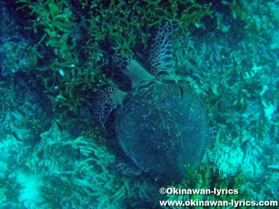 ウミガメとシュノーケル@カナワ島(Kanawa island)