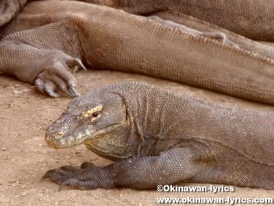コモドオオトカゲ(Komodo dragon)@リンチャ島(Rinca island)