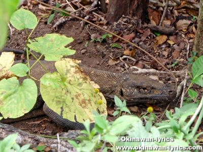 コモドオオトカゲ(Komodo dragon)@コモド島(Komodo island)