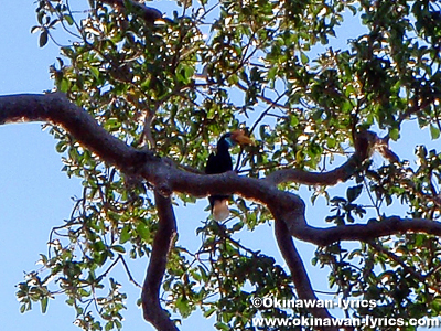 サイチョウ(hornbill)@タンココ自然保護区(Tangkoko Nature Reserve)