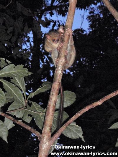 メガネザル(Tarsius)@タンココ自然保護区(Tangkoko Nature Reserve)
