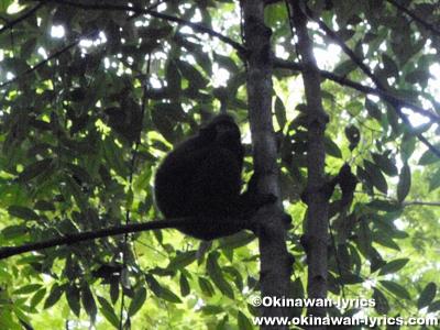 クロザル at タンココ自然保護区:スラウェシ島(Pulau Sulawesi)、インドネシア