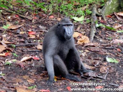 クロザル(Macaca)@タンココ自然保護区(Tangkoko Nature Reserve)