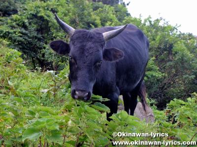 野生の和牛原種@口之島, トカラ列島