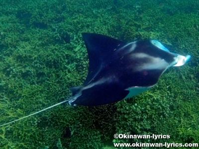 マンタとシュノーケル(snorkeling with manta ray)@ヤップ島(Yap island)