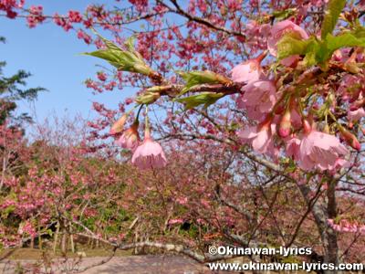 カンヒザクラ(Cerasus cerasoides)@八重瀬公園