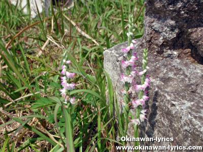 ナンゴクネジバナ、沖縄本島