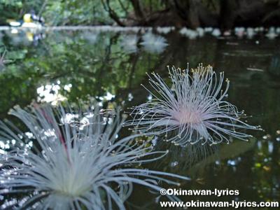 カヤックでサガリバナ(Barringtonia racemosa)@西表島浦内川支流シンマタ川