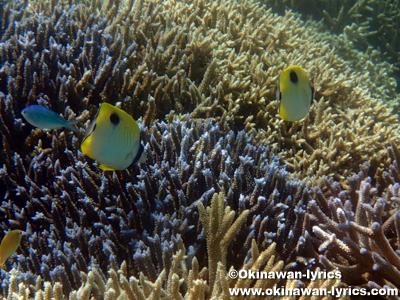 シュノーケル, イッテンチョウチョウウオ(Teardrop butterflyfish)@鳩間島沖