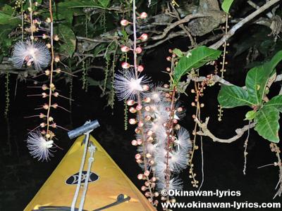 カヤックでサガリバナ鑑賞(前良川)、西表島