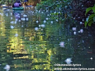 カヤックでサガリバナ(Barringtonia racemosa)@西表島前良川