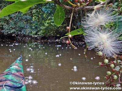 カヤックでサガリバナ(Barringtonia racemosa)@西表島仲良川