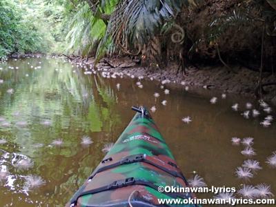 カヤックでサガリバナ(Barringtonia racemosa)@西表島アダナデ川