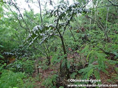 ショクダイオオコンニャクの木