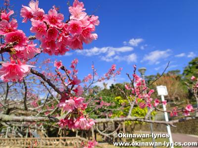 桜の標準木@那覇市末吉公園