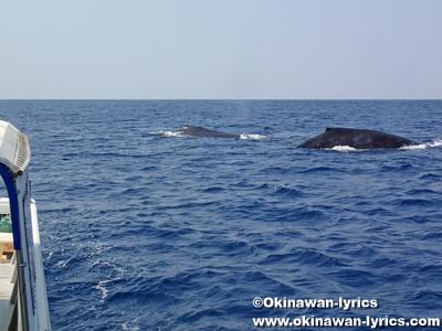 ホエールウォッチング(クジラの親子)、渡嘉敷島~座間味島近海