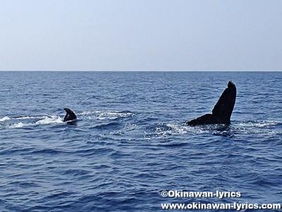 ホエールウォッチング(クジラの親子)@座間味島近海