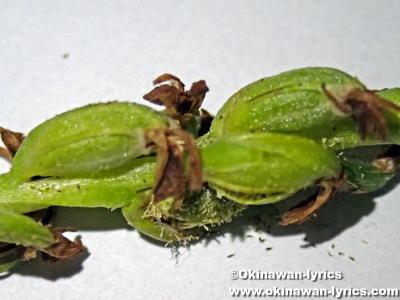 ナンゴクネジバナの果実(seed pod of Spiranthes sinensis)