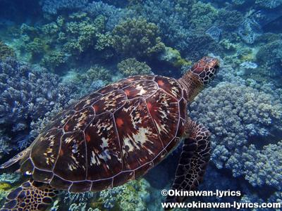 アポ島のウミガメ