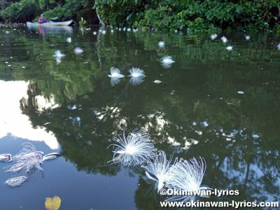 仲良川のサガリバナ(Barringtonia racemosa)@西表島