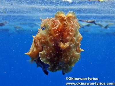 シュノーケル, コブシメ(reef cuttlefish)@西表島
