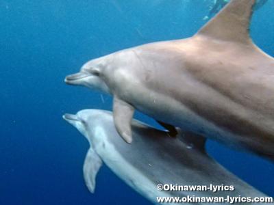 御蔵島でドルフィンスイミング(dolphin-swimming around Mikura island)