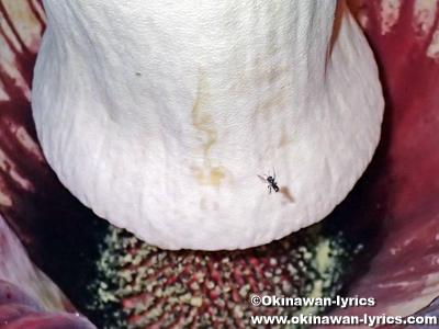 ショクダイオオコンニャクの花の中に入るハチ