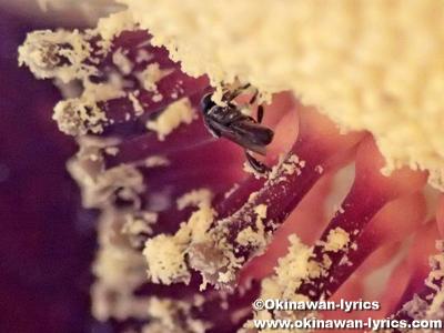 ショクダイオオコンニャクの花粉を集めるハチ