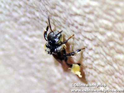 ショクダイオオコンニャクの花粉を付けたハチ