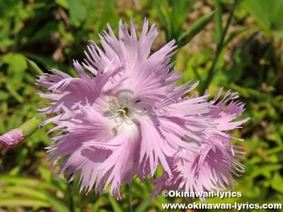 カワラナデシコ(Dianthus superbus)@渡名喜島