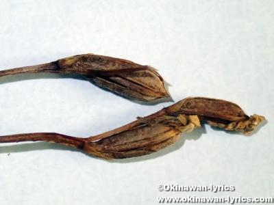 オキナワチドリの果実(seeds of Amitostigma lepidum)