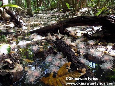 西表島のサガリバナ(Barringtonia racemosa)