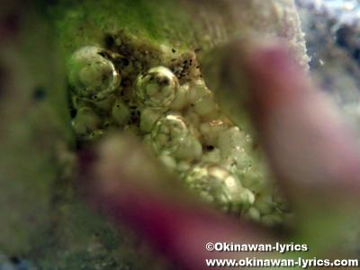 ウミショウブの雄花(male flowers of Enhalus acoroides)