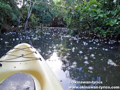 西表島浦内川のサガリバナ(Barringtonia racemosa)