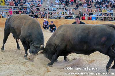 第9回うるま祭り闘牛大会