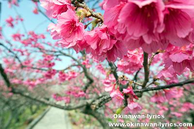 今帰仁城跡「第8回桜まつり」、沖縄本島