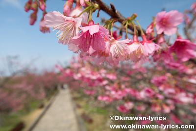今帰仁城跡 第8回桜まつり