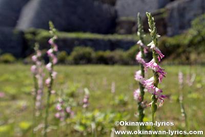 ナンゴクネジバナ(Spiranthes sinensis)