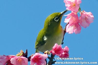 第38回 もとぶ八重岳桜まつり、沖縄本島