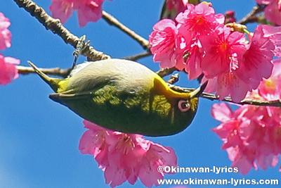 メジロ(White-eye)@第38回もとぶ八重岳桜まつり