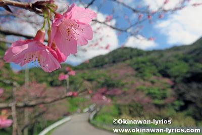 第38回もとぶ八重岳桜まつり