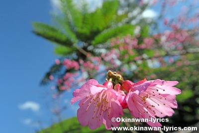 木性シダ(ヘゴ)@第38回もとぶ八重岳桜まつり