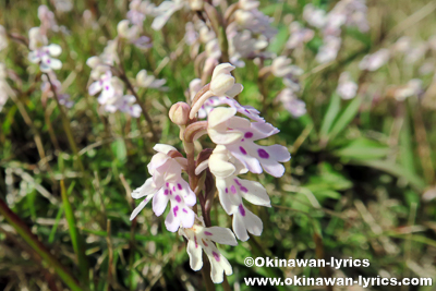 オキナワチドリ(Amitostigma lepidum)
