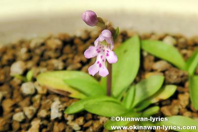 実生3年目のオキナワチドリが開花
